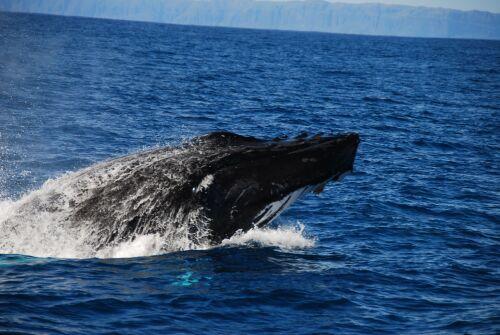 Baleine Pa Pali Coast